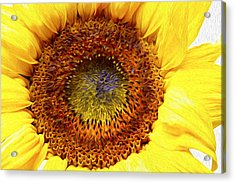 Sunflower Love Acrylic Print by Les Cunliffe