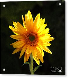 Acrylic Print featuring the photograph Sunflower Love by Marjorie Imbeau