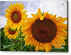 Sunflower Mama And Her Daughters  Acrylic Print
