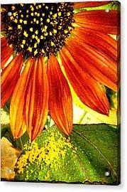 Sunflower Memories Acrylic Print by Kathy Bassett