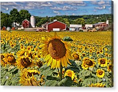 Sunflower Nirvana 21 Acrylic Print