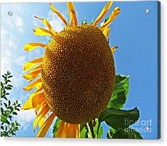 Sunflower Acrylic Print by Olivia Narius