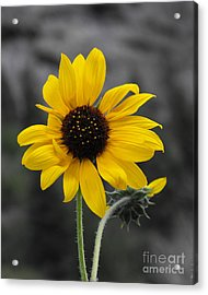 Sunflower On Gray Acrylic Print