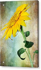 Sunflower On Textured Canvas Acrylic Print by Kaye Menner
