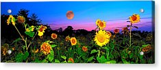 Sunflower Patch And Moon  Acrylic Print by Randall Branham