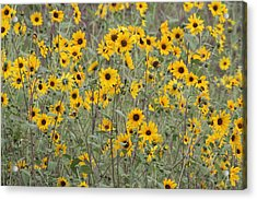 Sunflower Patch On The Hill Acrylic Print by Tom Janca