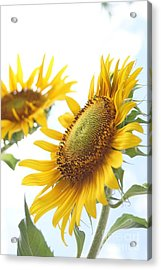 Sunflower Perspective Acrylic Print by Kerri Mortenson