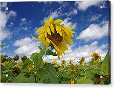 Sunflower Acrylic Print by Philip Derrico