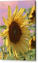 Sunflower Pop Acrylic Print