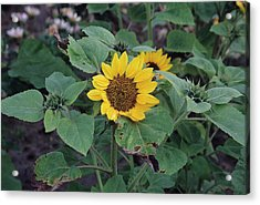 Sunflower 'prado Yellow' Acrylic Print