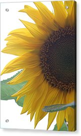 Sunflower Acrylic Print by Rebecca Powers