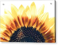 Acrylic Print featuring the photograph Sunflower Rising by Wade Brooks