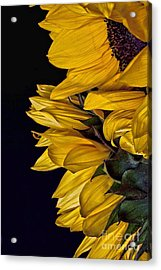 Acrylic Print featuring the photograph Sunflower by Shirley Mangini