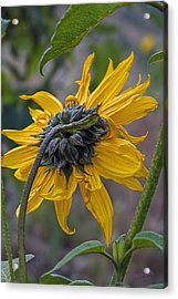 Sunflower Acrylic Print by Sharon Beth