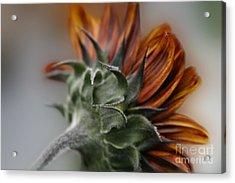 Sunflower Acrylic Print by Sharon Mau