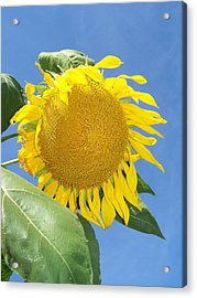 Sunflower Sky Acrylic Print by Noreen HaCohen