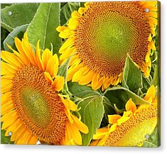 Sunflower Smiles Acrylic Print by Kim Bemis