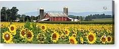Sunflower Splendor Panorama #1 - Mifflinburg Pa Acrylic Print