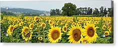Sunflower Splendor Panorama #2 - Mifflinburg Pa Acrylic Print