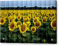 Sunflower Squared Acrylic Print by Kathy Churchman
