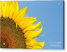 Sunflower Acrylic Print by Stela Taneva