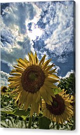 Sunflower Study 1 Acrylic Print by Mitchell Brown