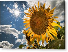 Sunflower Study 2 Acrylic Print by Mitchell Brown