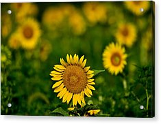 Sunflower Summer Acrylic Print by Christopher L Nelson