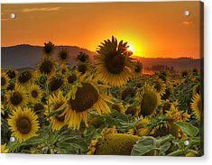 Sunflower Sun Rays Acrylic Print by Mark Kiver