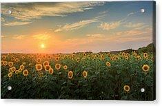 Sunflower Sundown Acrylic Print by Bill Wakeley