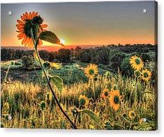 Sunflower Sunrise 1 Acrylic Print