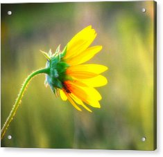 Sunflower Sunrise 6 Acrylic Print