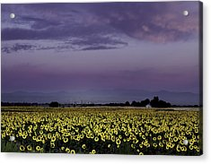 Acrylic Print featuring the photograph Sunflower Sunrise by Kristal Kraft