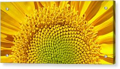 Acrylic Print featuring the photograph Sunflower Sunrise by Michael Dohnalek
