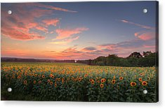 Sunflower Sunset Acrylic Print by Bill Wakeley