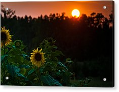 Acrylic Print featuring the photograph Sunflower Sunset by Cheryl Baxter