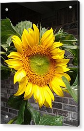 Sunflower Acrylic Print by Susan Williams