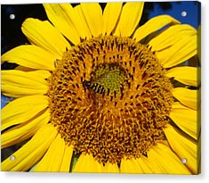 Sunflower Visitor Series 1 Acrylic Print