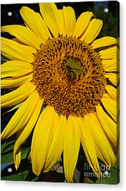 Sunflower Visitor Series 5 Acrylic Print