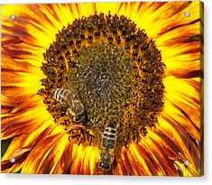 Sunflower With Bees Acrylic Print by Matthias Hauser