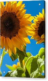 Sunflowers 2 Acrylic Print by Dasmin Niriella