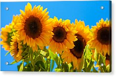 Sunflowers 3 Acrylic Print by Dasmin Niriella