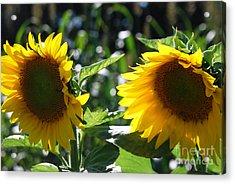 Sunflowers Acrylic Print by Manda Renee