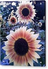 Sunflowers At Dusk Acrylic Print