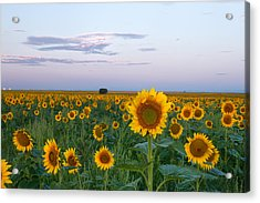 Sunflowers At Sunrise Acrylic Print