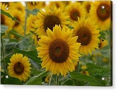 Sunflowers At The Farm Acrylic Print by Denyse Duhaime