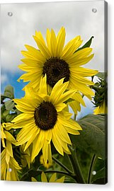 Acrylic Print featuring the photograph Sunflowers by Chuck De La Rosa