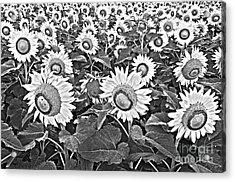 Sunflowers Acrylic Print by Elena Nosyreva