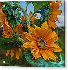 Sunflowers In A Bunch Acrylic Print by John  Kolenberg