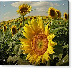 Kansas Sunflowers Acrylic Print
